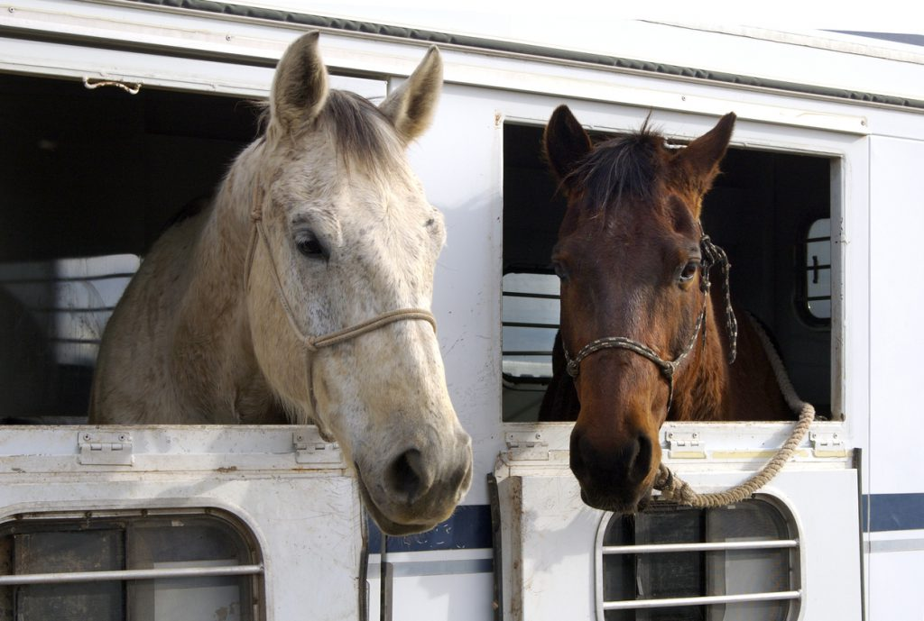 choosing a livestock trailer - horses sticking their heads out of a horse trailer